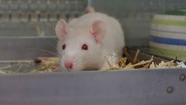 Ratten suchen ein artgerechtes Zuhause. (Bild: TierQuarTier Wien)