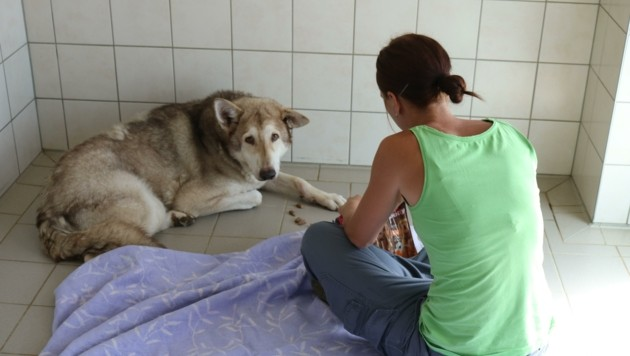 Laura widmet jede freie Minute dem verschreckten Wolfshund. Sie hofft, dass er noch ein schönes Leben haben darf. (Bild: Fischer Claudia)