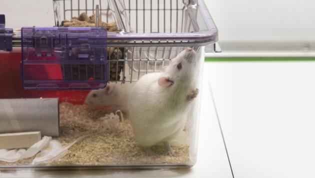 Symbolbild: Mäuse werden für Versuche am häufigsten verwendet. (Bild: APA/KEYSTONE/GAETAN BALLY)