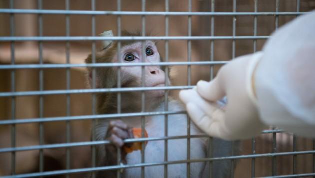 Ein Rhesus-Affe mit einem Implantat wird in der Tierhaltung im Max-Planck-Institut für biologische Kybernetik von einem Tierpfleger gefüttert.