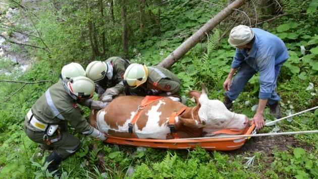 Auf einer Trage barg die Feuerwehr in Kirchberg dieses Rind aus unwegsamem Gelände. (Bild: ZOOM-TIROL)