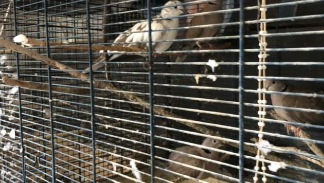 Tauben in einem engen Käfig (Bild: Tierschutzverein für Tirol)