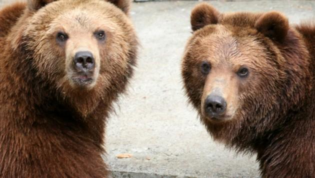 In Russland leben vor allem Schwarz- und Braunbären (wie etwa Kamtschatkabären). Letztere bilden die größte Unterart der Braunbären in Eurasien. Sie leben ausschließlich auf der namensgebenden Kamtschatka-Halbinsel und dem angrenzenden Festland.