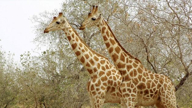Die Nigergiraffe ist eine Unterart der Giraffen, die sich durch eine hellere Fellfärbung auszeichnet. (Bild: stock.adbe.com/ Anthony Asael/Danita Delimont )