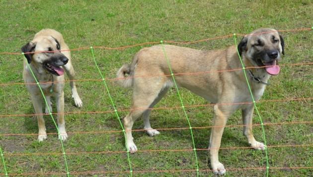 Der Einsatz von Herdenschutzhunden ist laut Schranz in Tirol eine rechtliche Grauzone. (Bild: Daum Hubert)