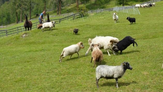 Die Nachtkoppel bietet den Schafen bei Dunkelheit Schutz, Lama und Bauer helfen dabei. (Bild: Daum Hubert)