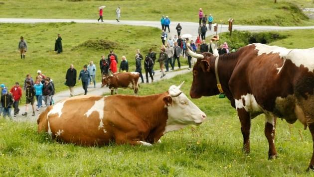 Unzählige Tafeln mussten Almbauern österreichweit aufstellen, um Almbesucher auf die Gefahr bei Weidevieh aufmerksam zu machen. (Bild: Gerhard Schiel)