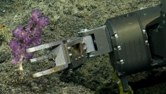 (Bild: kameraone, Ocean Exploration Trust, Nautilus Live)