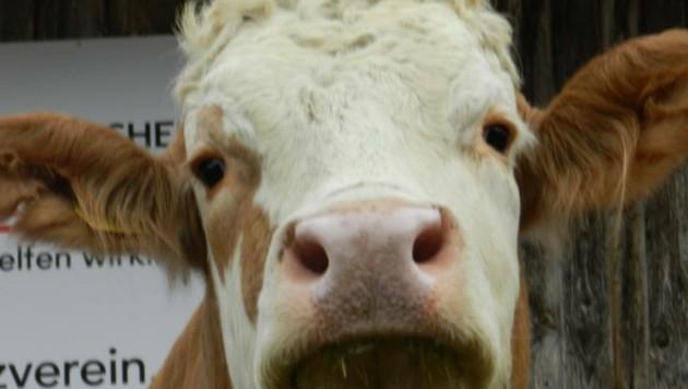 "Kuh ""Esther"" lebt noch am Gnadenhof"