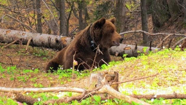 Ein Bär wie dieser tappte in die Fotofalle (Bild: picturedesk.com/Molinari/Gutelb)