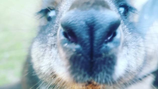 Ein weiterer hungriger Schützling. Das Wallaby hat noch aus der Flasche getrunken. (Bild: Denise Zöhrer)