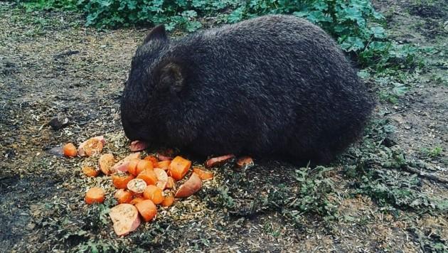 Wombats können ganz schön rabiat sein. Musste ich am eigenen Leib erfahren. (Bild: Denise Zöhrer)