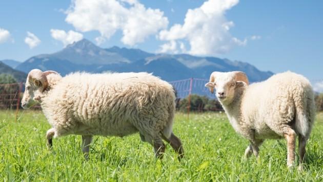 """""""Wolli"""" und """"Filzi"""" heißen die Schafe nun – und wohnen in malerischer Kulisse am Wiesenhof in Innsbruck."""