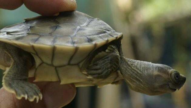 (Bild: Turtle Survival Alliance/Wildlife Conservation Society)