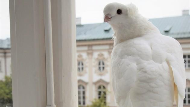 Diese Taube besuchte Gemeinderat Dankl an seinem Fenster. Ein Tier wurde bereits gerettet. (Bild: Dankl)