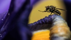 Fliege (Symbolfoto) (Bild: AFP)