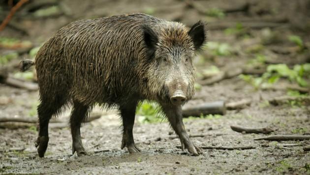 Ein Wildschwein muss in Radweg erlegt worden sein: Ein Kadaver wurde entdeckt (Bild: APA/dpa/Fredrik von Erichsen)
