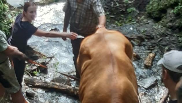 Die Kuh kam selbst nicht mehr aus ihrer Lage.
