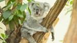 """Koalamama """"Bunji"""" (Bild: Daniel Zupanc)"""
