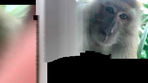 Der Affe nahm das Selfie im Panoramamodus der Handykamera auf. (Bild: AP)