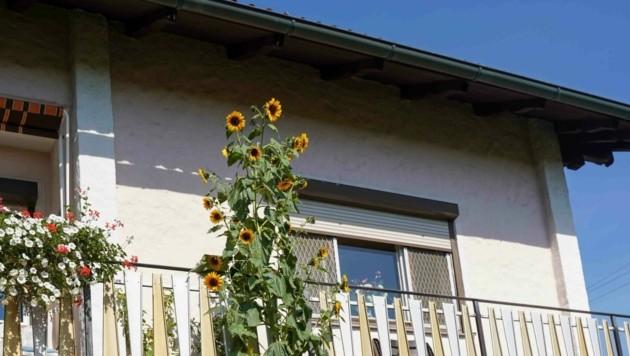 Die rekordverdächtige Sonnenblume reicht im 1. Stock bis fast unters Hausdach (Bild: Pressefoto Scharinger © Daniel Scharinger)