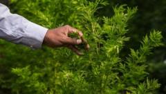 Ein Kräutertrunk auf Basis von Einjährigem Beifuß (Artemisia annua) soll angeblich vorbeugend und heilend wirken. (Bild: AFP/Rijasolo)