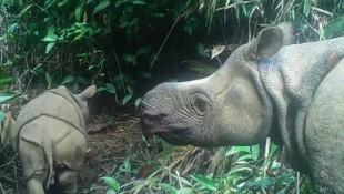"Java-Nashorn-Nachwuchs ""Luther"" mit seiner Mutter (Bild: APA/AFP/Environment and Forestry Ministry)"