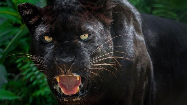 Ein Panther ist keine eigene Großkatzenart, sondern ein schwarz gefärbter Jaguar oder Leopard. Leoparden leben in Afrika und Asien, der Jaguar ist in Süd- und Mittelamerika zu Hause. (Bild: stock.adobe.com)