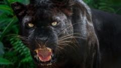 Ein Panther ist keine eigene Großkatzenart, sondern ein schwarz gefärbter Jaguar oder Leopard. Leoparden leben in Afrika und Asien, der Jaguar ist in Süd- und Mittelamerika daheim. (Bild: stock.adobe.com)