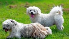 Zwei Hunde der Rasse Malteser (Bild: Reinhard Holl)