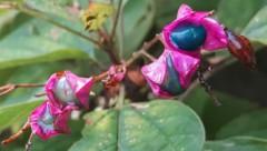 Auch der Losbaum (Clerodendron trichotomum) lockt mit auffälligen Farben. (Bild: Felix Schlatti)