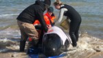 Retter versuchen, einige der gestrandeten Wale wieder ins Meer zu bekommen. (Bild: AFP)