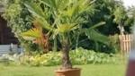 Diese große Palme wurde von Unbekannten aus dem Schrebergarten in Linz gestohlen. (Bild: zVg)