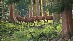Für Innviertler Tierschützer ist der Rotwildbestand in Gefahr. (Bild: Marion Hörmandinger)