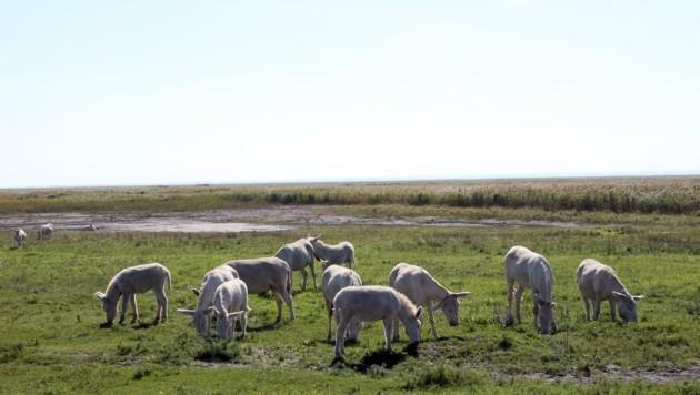 Auch die weißen Esel im Nationalpark beeindrucken die Besucher immer wieder. (Bild: PETER TOMSCHI)
