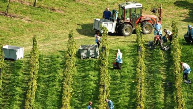 Die Lese geht bald im Burgenland voll los. Vereinzelt wurden bereits Trauben für Jungweine und Sturm geerntet. (Bild: Sepp Pail)
