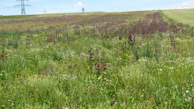 Die Bienenweideflächen sind nicht nur hübsch anzusehen, sondern auch nützlich. (Bild: Verein BERTA)