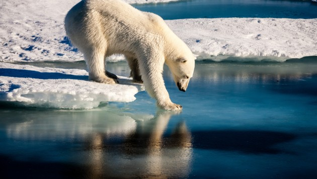 Eisbär (Bild: ©Mario Hoppmann - stock.adobe.com)