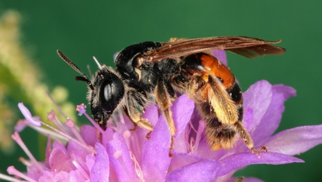 Bienen und andere Insekten sorgen in der Landwirtschaft für die Bestäubung der Pflanzen und sie sind ein wichtiger Bestandteil im Naturkreislauf. (Bild: Josef Limberger)