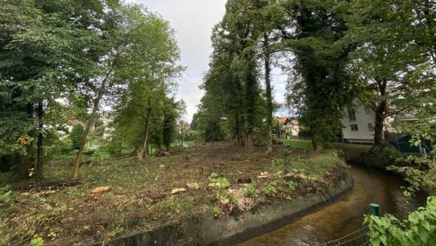 Gesunde Bäume wurden Opfer eines Kettensägenmassakers (Bild: Langwieder)