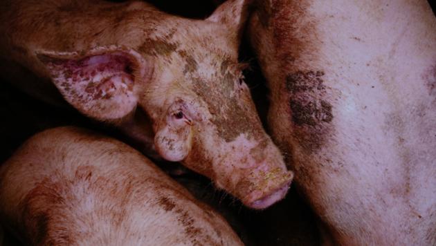 Die Schweine leben in Exkrementen und haben eine Beule am Kopf - Bildmaterial, das dem VGT zugespielt wurde. (Bild: VGT.at/Verein gegen Tierfabriken)