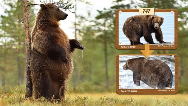 (Bild: stock.adobe.de, explore.org/fat-bear-week, Krone KREATIV)