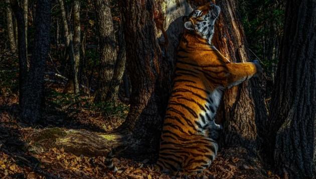 Um dieses Foto eines seltenen Amur-Tigers schießen zu können, musste Sergey Gorshkov elf Monate warten. (Bild: nhm.ac.uk/SERGEY GORSHKOV)