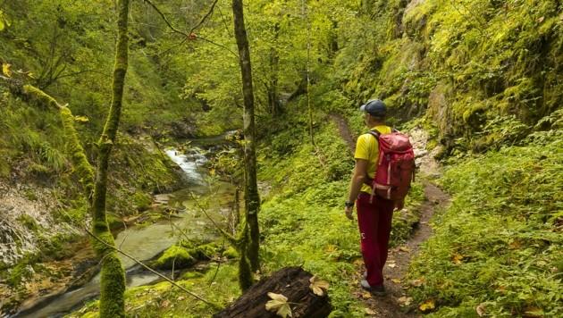 Wo Bayern (fast) an Borneo erinnert: urtümlicher Wald in der Weißbachschlucht. (Bild: Uwe Grinzinger)