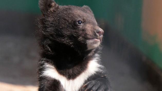 Ein junger Kragenbär (Bild: Martina Berg/stock.adobe.com)