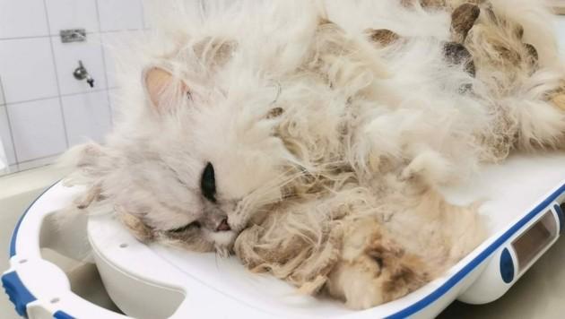 Das arme Kätzchen kämpft ums Überleben. (Bild: Aktiver Tierschutz Steiermark)