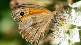 Heuer der häufigste Schmetterling in unseren Gärten: das Große Ochsenauge. (Bild: schmetterlingsapp.at/Alfred L.)