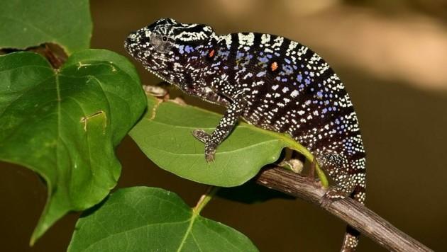 Ein weibliches Exemplar des Voeltzkow-Chamäleons (Bild: Kathrin Glaw/SNSB)