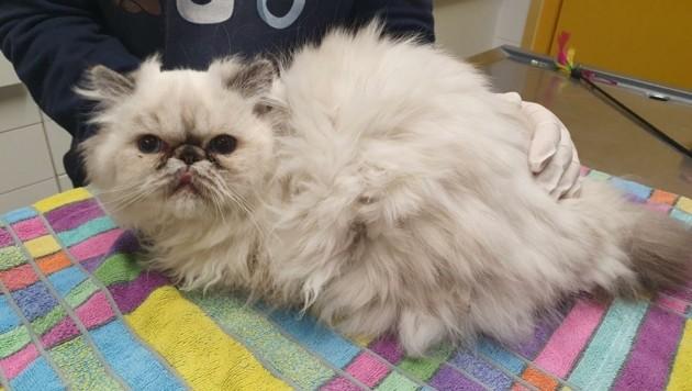 Im Tierheim Dechanthof in Mistelbach werden die Katzen nun liebevoll aufgepäppelt und gründlich untersucht. (Bild: Tierheim Dechanthof)