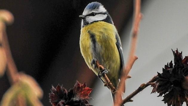Blaumeisen sind keine Zugvögel und bleiben auch im Winter in heimischen Gefilden.. (Bild: Dostal Harald)